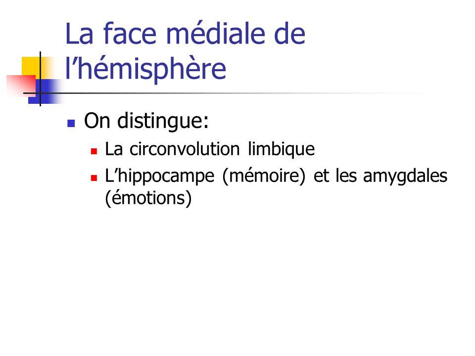 La face médiale de lhémisphère On distingue: La circonvolution limbique Lhippocampe (mémoire) et les amygdales (émotions)