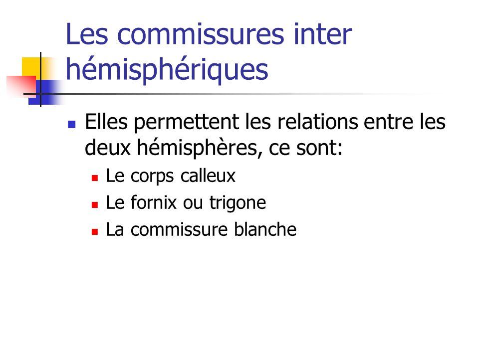 Les commissures inter hémisphériques Elles permettent les relations entre les deux hémisphères, ce sont: Le corps calleux Le fornix ou trigone La commissure blanche