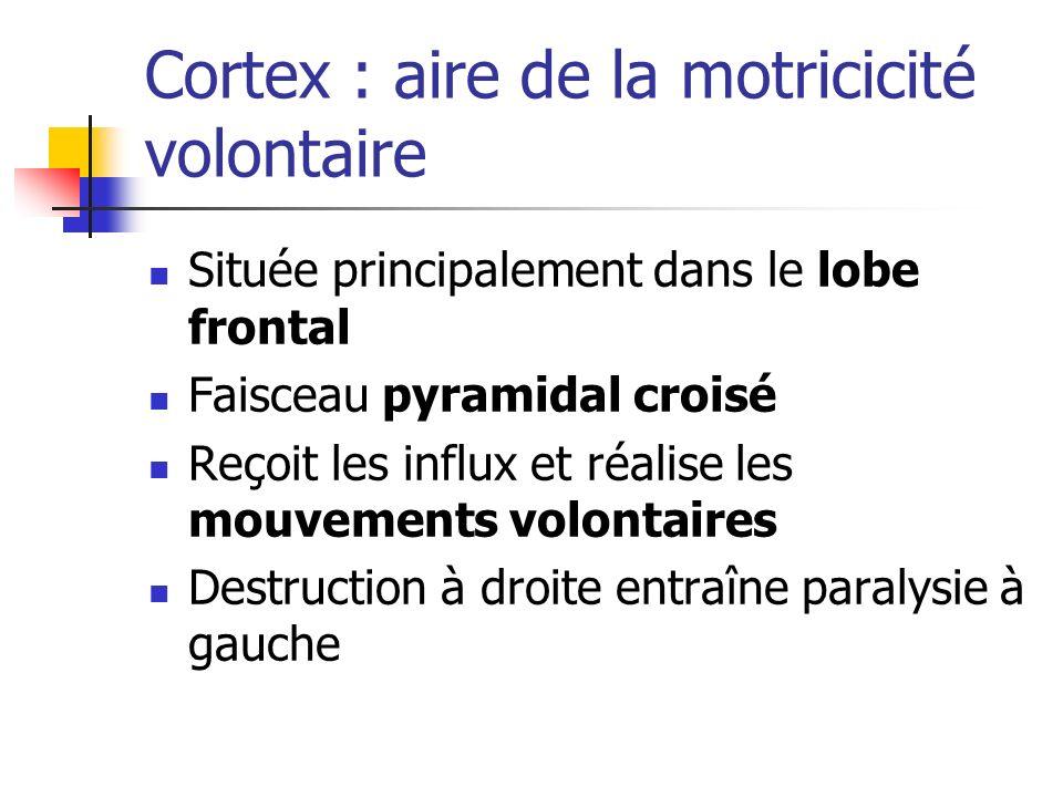 Cortex : aire de la motricicité volontaire Située principalement dans le lobe frontal Faisceau pyramidal croisé Reçoit les influx et réalise les mouvements volontaires Destruction à droite entraîne paralysie à gauche