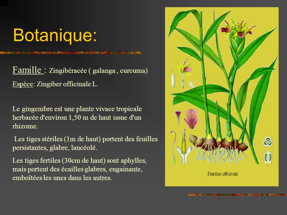 Botanique: Famille : Zingibéracée ( galanga, curcuma) Espèce: Zingiber officinale L. Le gingembre est une plante vivace tropicale herbacée d'environ 1