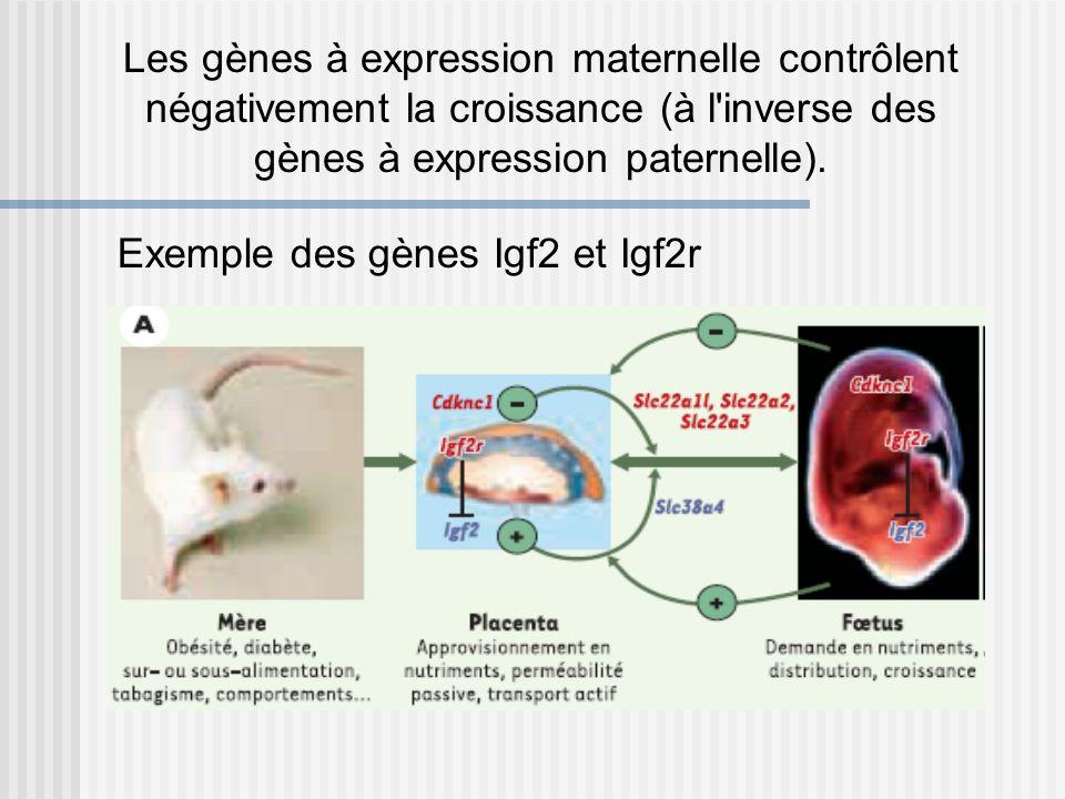 Exemple des gènes Igf2 et Igf2r Les gènes à expression maternelle contrôlent négativement la croissance (à l'inverse des gènes à expression paternelle