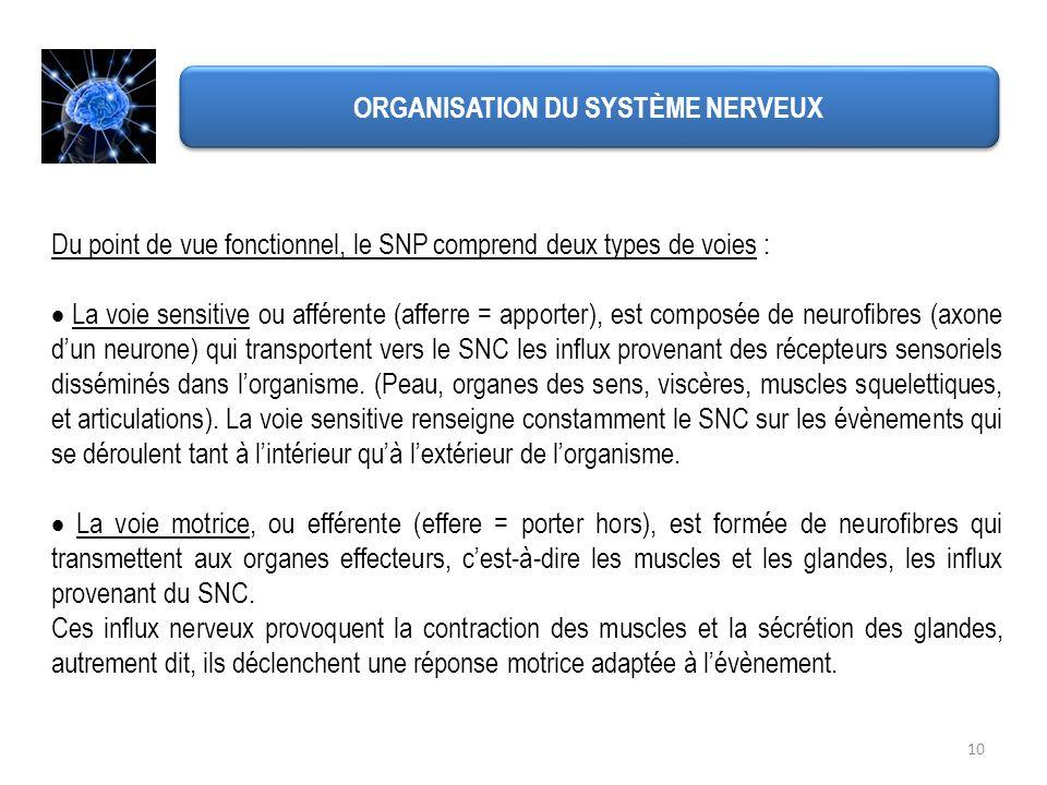10 ORGANISATION DU SYSTÈME NERVEUX Du point de vue fonctionnel, le SNP comprend deux types de voies : La voie sensitive ou afférente (afferre = apport