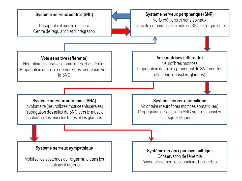 Système nerveux central (SNC) Encéphale et moelle épinière Centre de régulation et dintégration Système nerveux périphérique (SNP) Nerfs crâniens et n