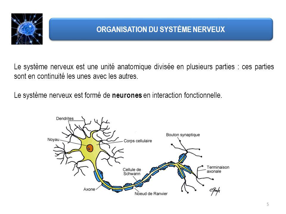 5 ORGANISATION DU SYSTÈME NERVEUX Le système nerveux est une unité anatomique divisée en plusieurs parties : ces parties sont en continuité les unes a