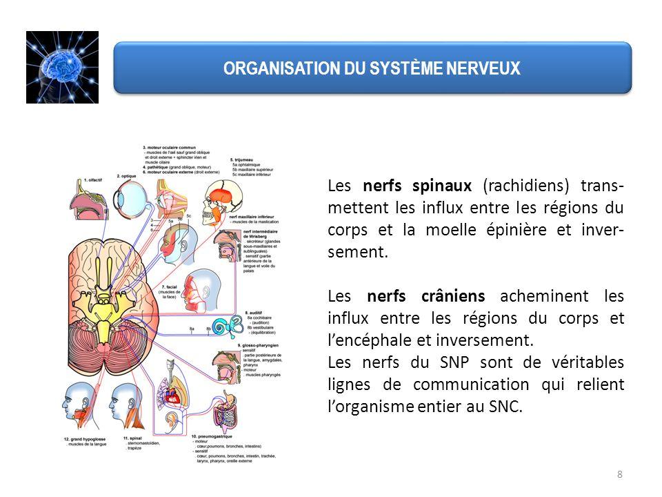 8 ORGANISATION DU SYSTÈME NERVEUX Les nerfs spinaux (rachidiens) trans- mettent les influx entre les régions du corps et la moelle épinière et inver-