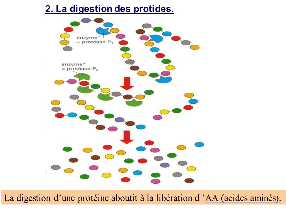 2. La digestion des protides. La digestion dune protéine aboutit à la libération d AA (acides aminés).