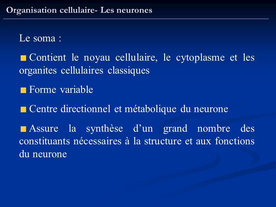 Organisation cellulaire- Les neurones Le soma : Contient le noyau cellulaire, le cytoplasme et les organites cellulaires classiques Forme variable Cen