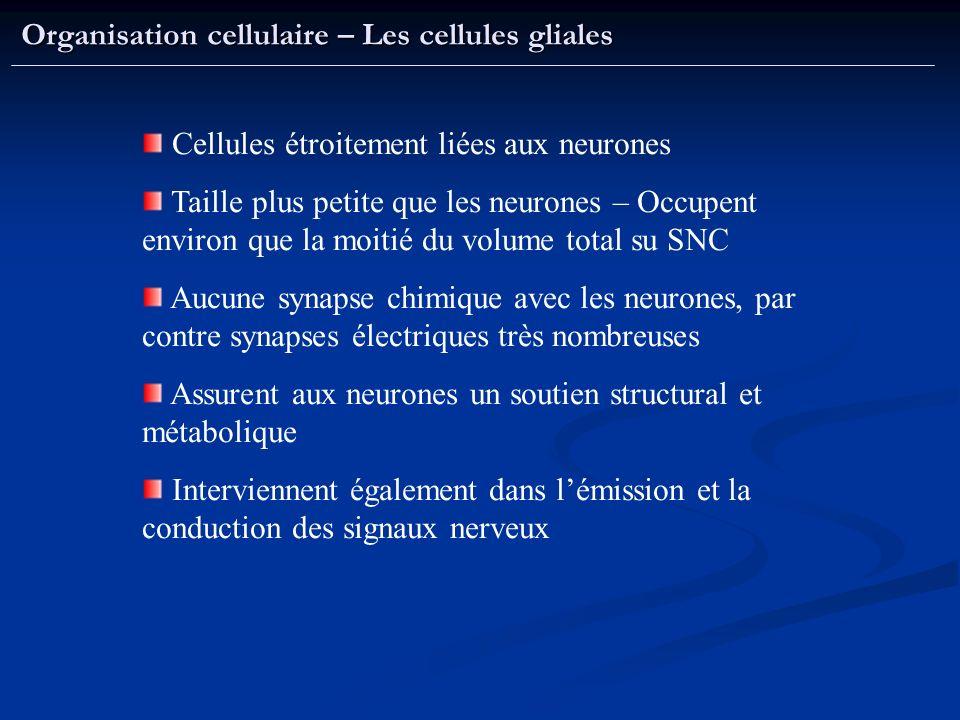 Organisation cellulaire – Les cellules gliales Cellules étroitement liées aux neurones Taille plus petite que les neurones – Occupent environ que la m