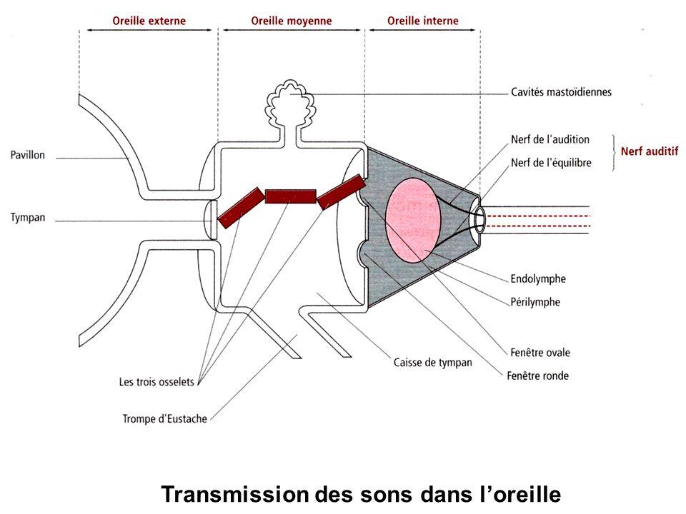Transmission des sons dans loreille