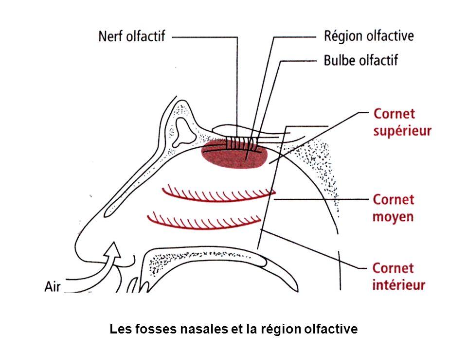 Les fosses nasales et la région olfactive