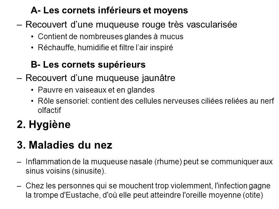 A- Les cornets inférieurs et moyens –Recouvert dune muqueuse rouge très vascularisée Contient de nombreuses glandes à mucus Réchauffe, humidifie et fi
