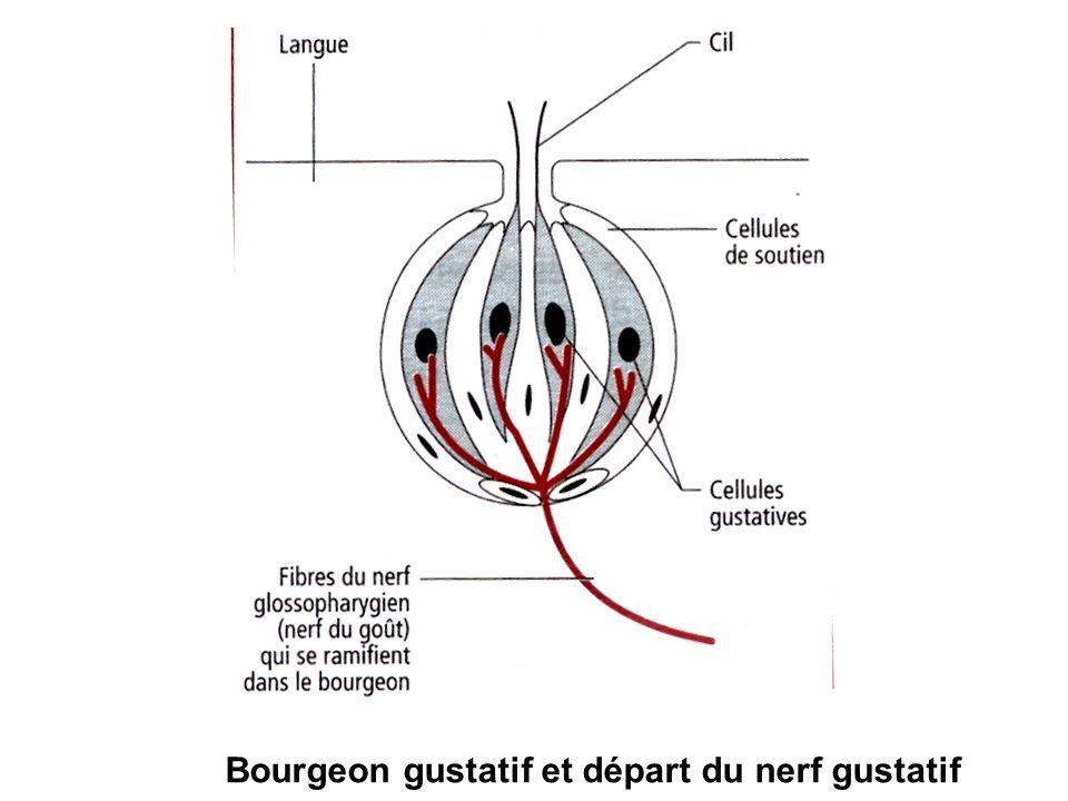Bourgeon gustatif et départ du nerf gustatif