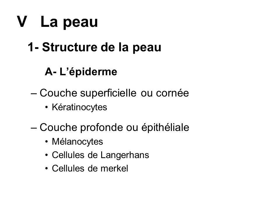V La peau 1- Structure de la peau A- Lépiderme –Couche superficielle ou cornée Kératinocytes –Couche profonde ou épithéliale Mélanocytes Cellules de L