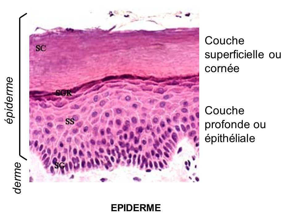 EPIDERME Couche superficielle ou cornée derme épiderme Couche profonde ou épithéliale