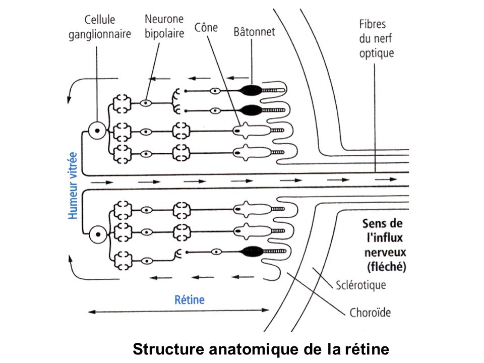 B- le glaucome –Destruction lente du nerf optique due à une augmentation de la pression dans loeil –Collyre, laser, chirurgie