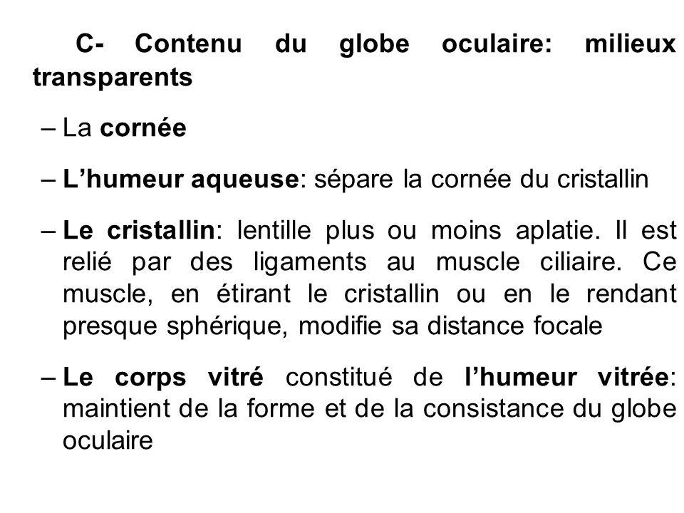 C- Contenu du globe oculaire: milieux transparents –La cornée –Lhumeur aqueuse: sépare la cornée du cristallin –Le cristallin: lentille plus ou moins