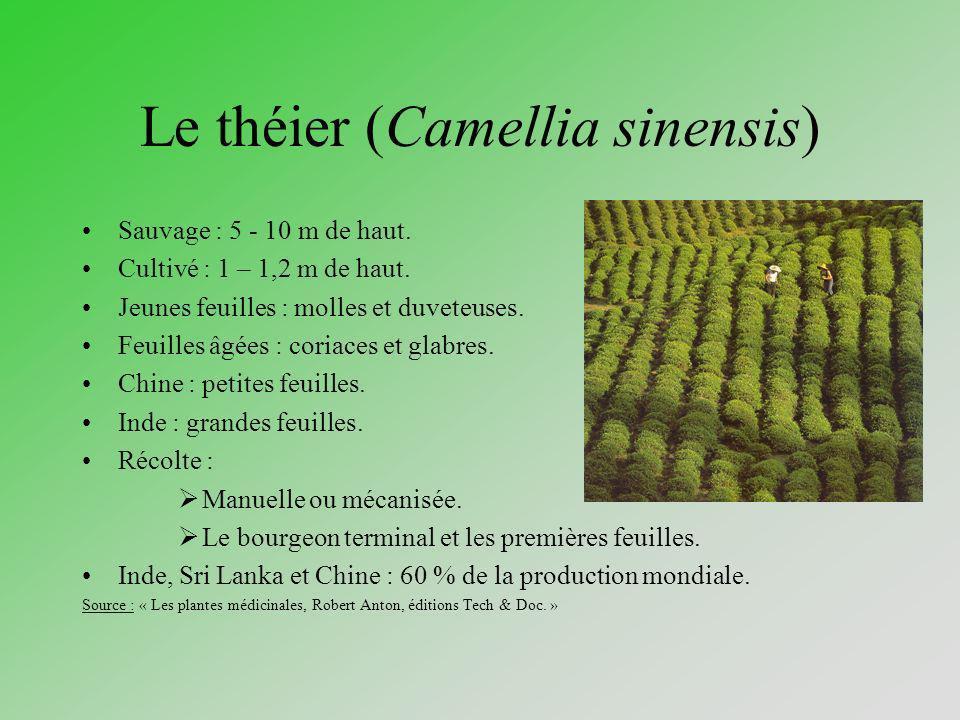 Le théier (Camellia sinensis) Sauvage : 5 - 10 m de haut. Cultivé : 1 – 1,2 m de haut. Jeunes feuilles : molles et duveteuses. Feuilles âgées : coriac
