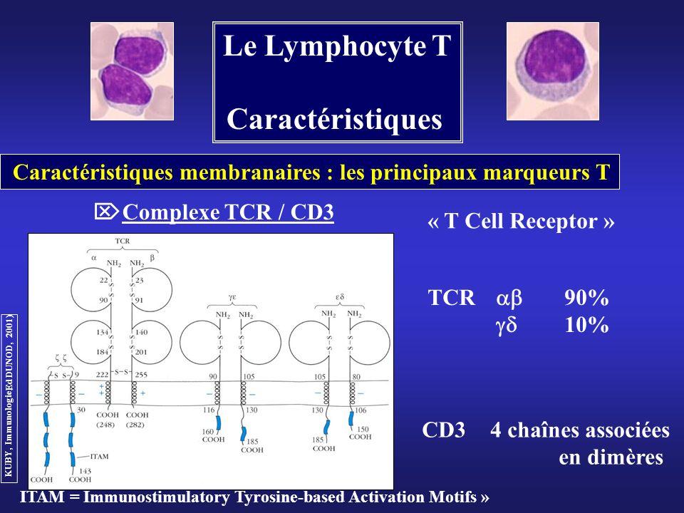Le Lymphocyte T Caractéristiques Caractéristiques membranaires : les principaux marqueurs T Complexe TCR / CD3 TCR 90% 10% CD34 chaînes associées en d