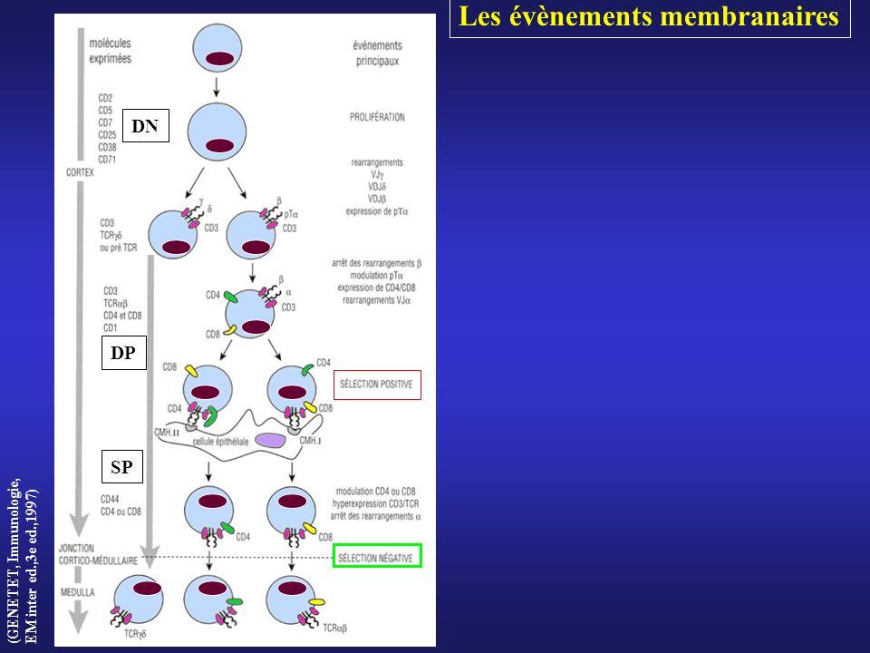 DP SP DP SP (GENETET, Immunologie, EM inter ed.,3e ed.,1997) DN Les évènements membranaires