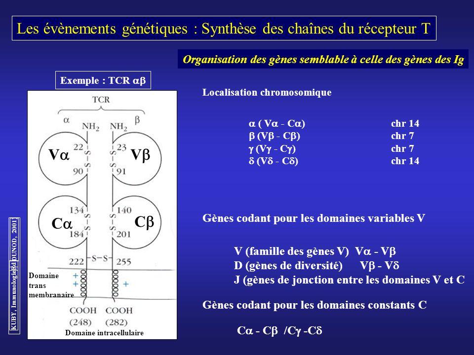 Les évènements génétiques : Synthèse des chaînes du récepteur T V V C Exemple : TCR Gènes codant pour les domaines variables V V (famille des gènes V)