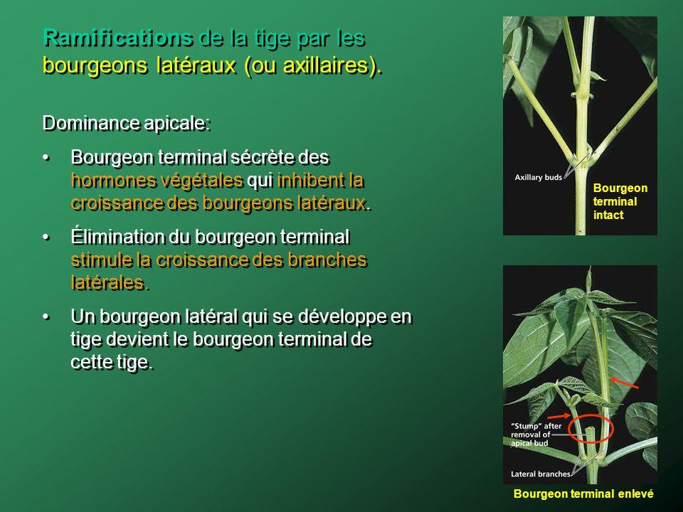 Dominance apicale: Bourgeon terminal sécrète des hormones végétales qui inhibent la croissance des bourgeons latéraux. Élimination du bourgeon termina