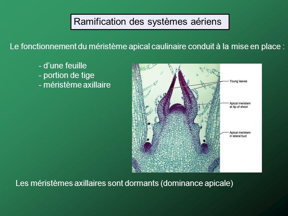 Le fonctionnement du méristème apical caulinaire conduit à la mise en place : - dune feuille - portion de tige - méristème axillaire Les méristèmes ax