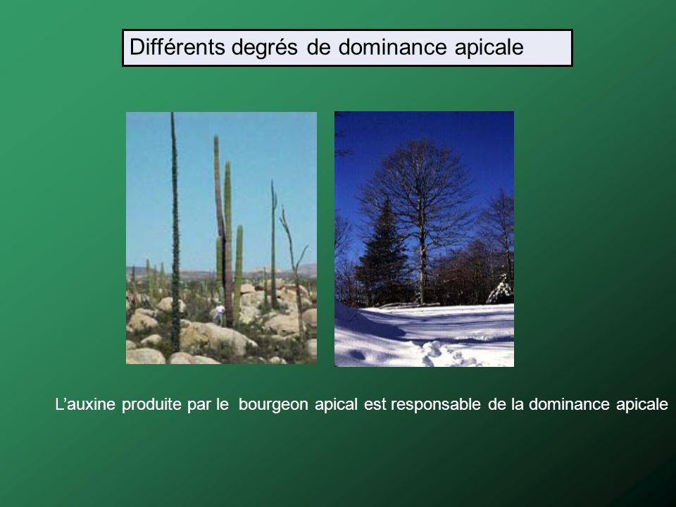 Lauxine produite par le bourgeon apical est responsable de la dominance apicale Différents degrés de dominance apicale