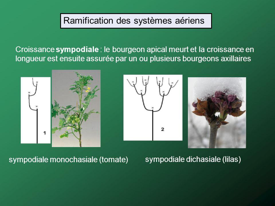 Croissance sympodiale : le bourgeon apical meurt et la croissance en longueur est ensuite assurée par un ou plusieurs bourgeons axillaires sympodiale