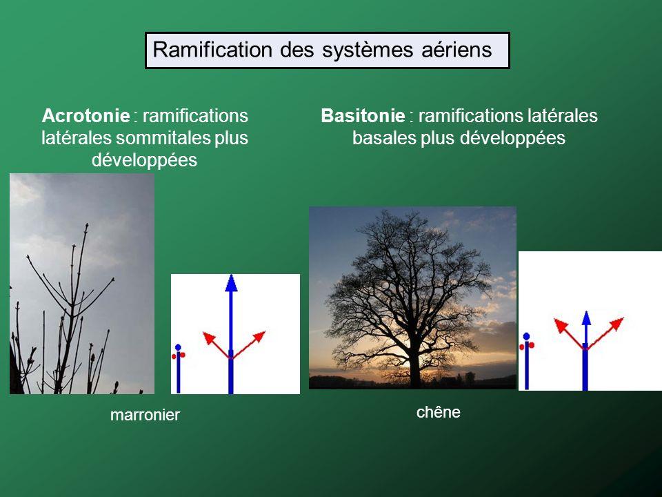 Acrotonie : ramifications latérales sommitales plus développées Basitonie : ramifications latérales basales plus développées chêne marronier Ramificat