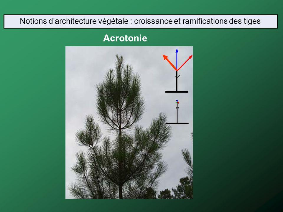 Acrotonie Notions darchitecture végétale : croissance et ramifications des tiges