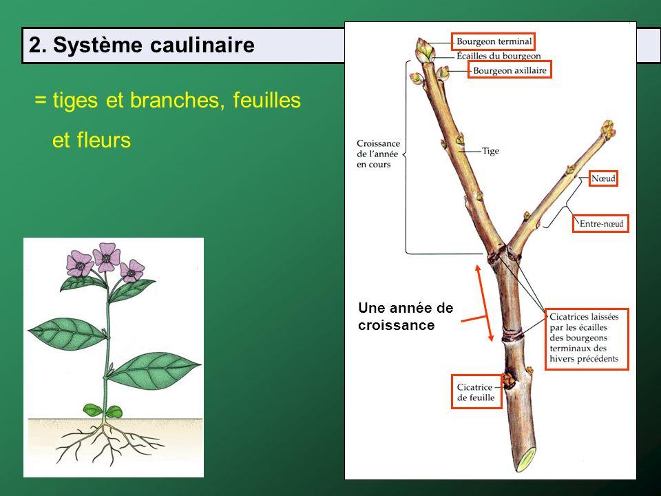 2. Système caulinaire = tiges et branches, feuilles et fleurs Une année de croissance