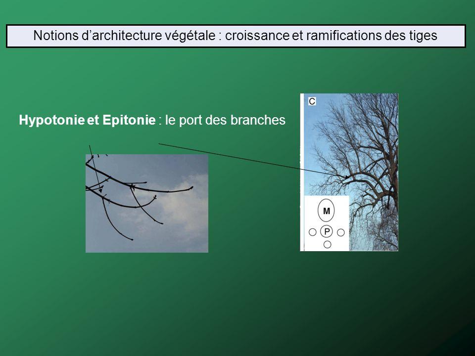 Hypotonie et Epitonie : le port des branches Notions darchitecture végétale : croissance et ramifications des tiges