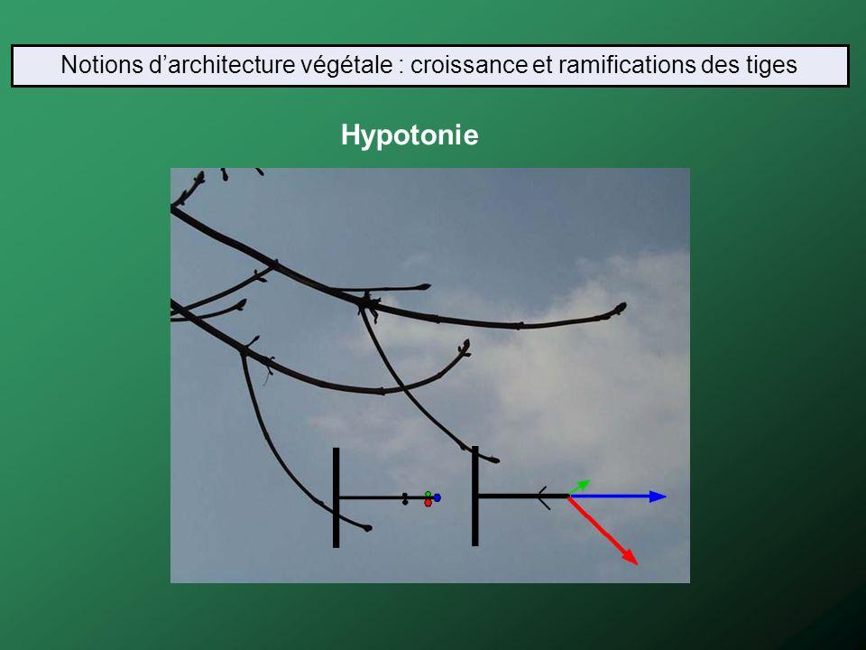 Hypotonie Notions darchitecture végétale : croissance et ramifications des tiges