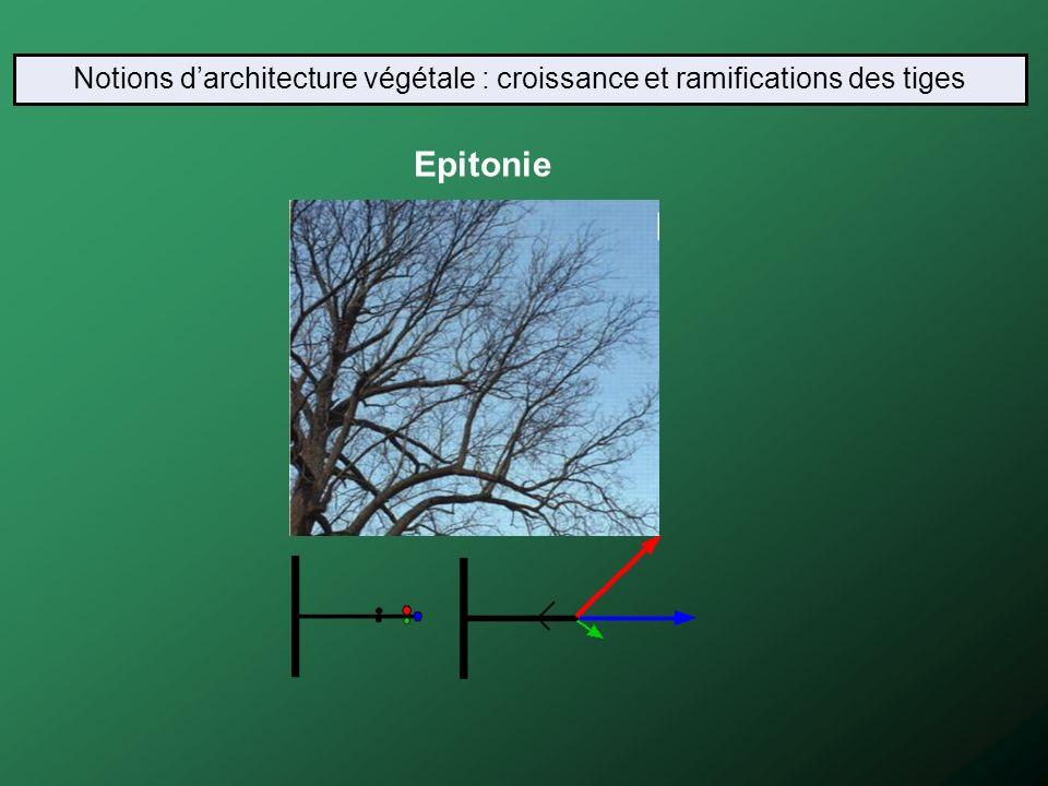 Epitonie Notions darchitecture végétale : croissance et ramifications des tiges