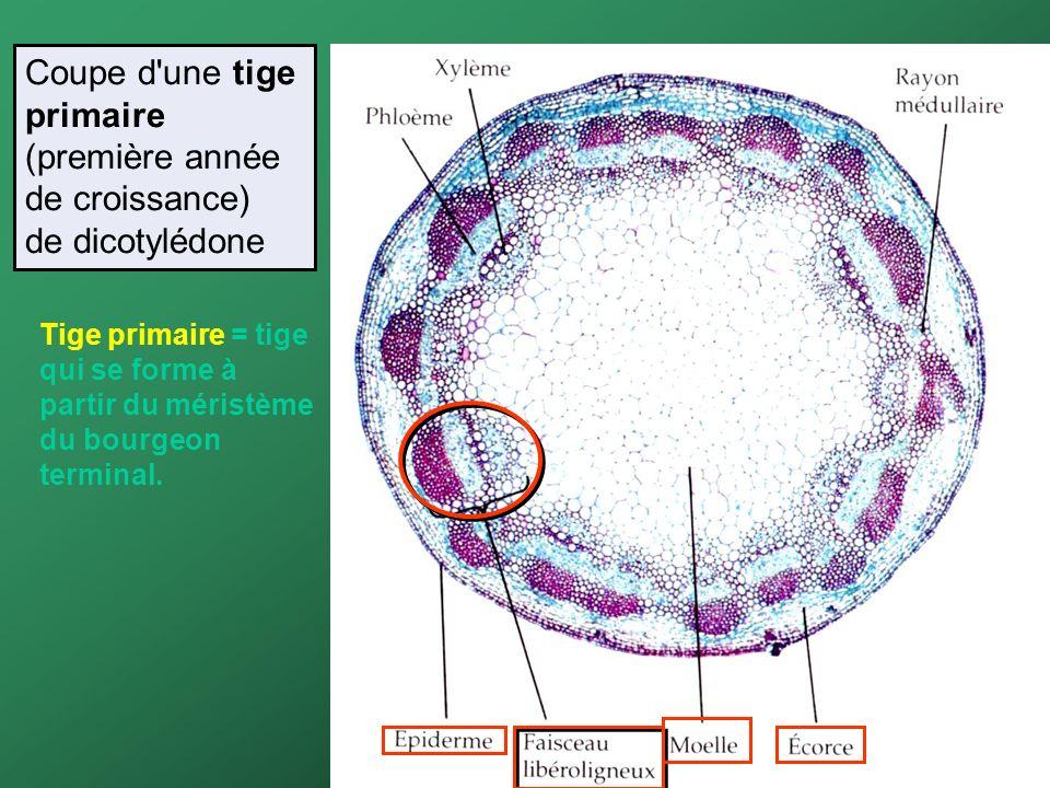 Coupe d'une tige primaire (première année de croissance) de dicotylédone Tige primaire = tige qui se forme à partir du méristème du bourgeon terminal.