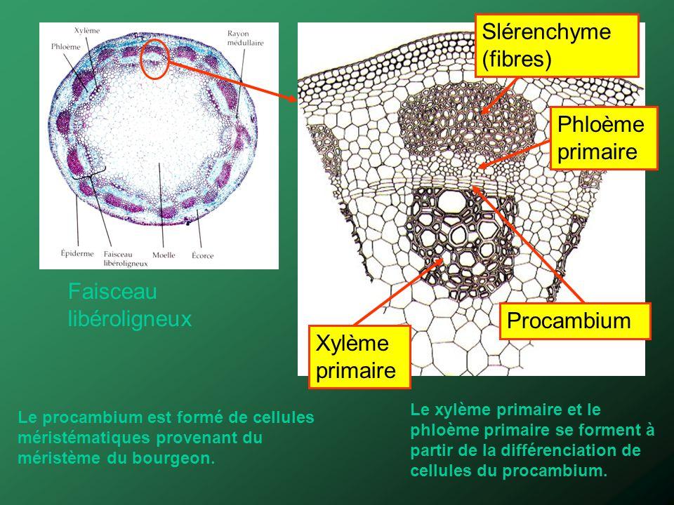 Phloème primaire Xylème primaire Procambium Faisceau libéroligneux Le procambium est formé de cellules méristématiques provenant du méristème du bourg