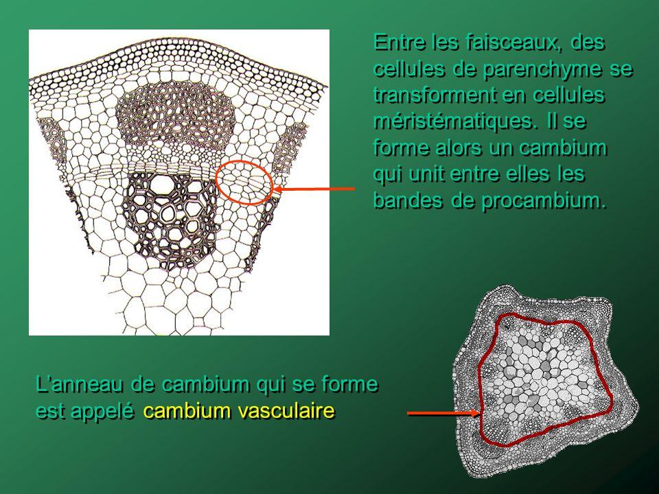 Entre les faisceaux, des cellules de parenchyme se transforment en cellules méristématiques. Il se forme alors un cambium qui unit entre elles les ban