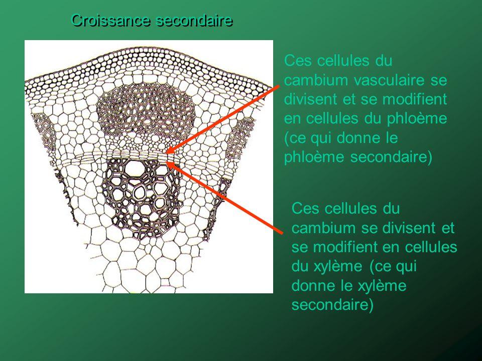 Ces cellules du cambium vasculaire se divisent et se modifient en cellules du phloème (ce qui donne le phloème secondaire) Ces cellules du cambium se