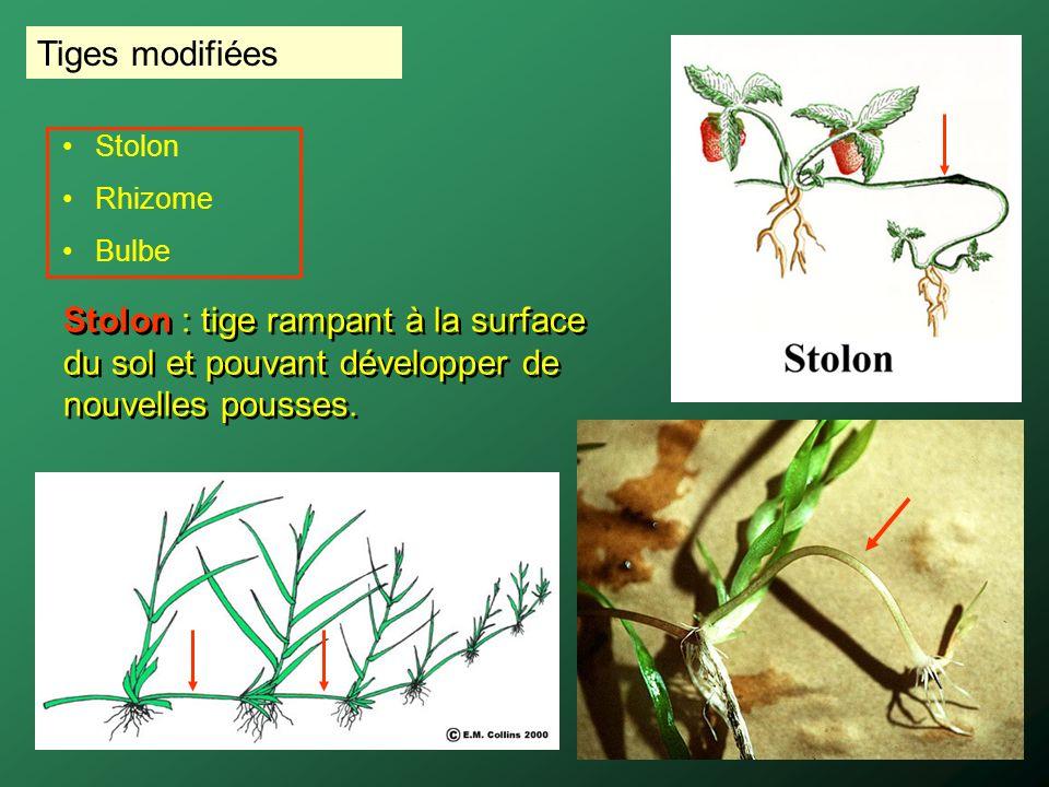 Tiges modifiées Stolon : tige rampant à la surface du sol et pouvant développer de nouvelles pousses. Stolon Rhizome Bulbe
