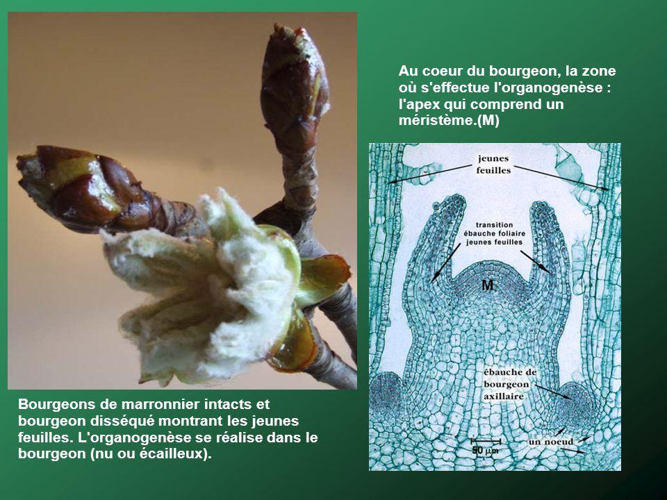Bourgeons de marronnier intacts et bourgeon disséqué montrant les jeunes feuilles. L'organogenèse se réalise dans le bourgeon (nu ou écailleux). Au co