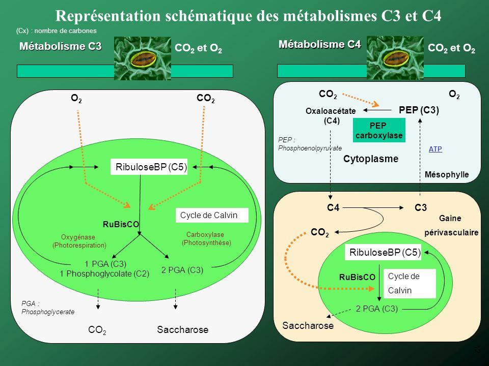 C3 Représentation schématique des métabolismes C3 et C4 CO 2 et O 2 Cytoplasme ATP Métabolisme C3 Métabolisme C4 (Cx) : nombre de carbones O 2 CO 2 1