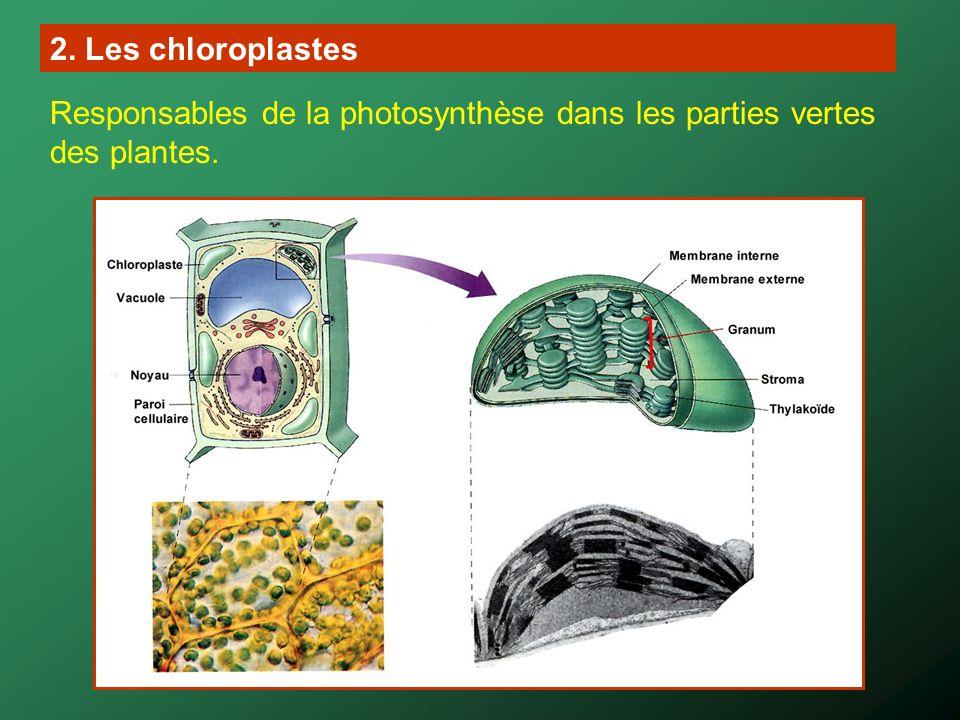 carotène Chlorophylle a Chlorophylle b Xanthophylles (violaxanthine et néoxanthine) Résultats de la chromatographie de la solution de pigments (phase stationnaire = amidon, phase mobile = éther de pétrole)