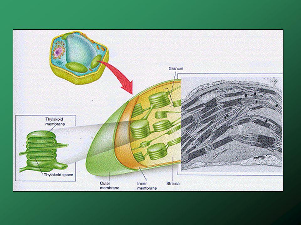 La membrane des thylakoïdes contient des pigments : Chlorophylle a et b (vert) Caroténoïdes et xantophylles (jaune à rouge) 1 mm 2 de feuille peut contenir ~ 500,000 chloroplastes.