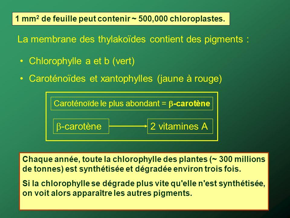 La membrane des thylakoïdes contient des pigments : Chlorophylle a et b (vert) Caroténoïdes et xantophylles (jaune à rouge) 1 mm 2 de feuille peut con