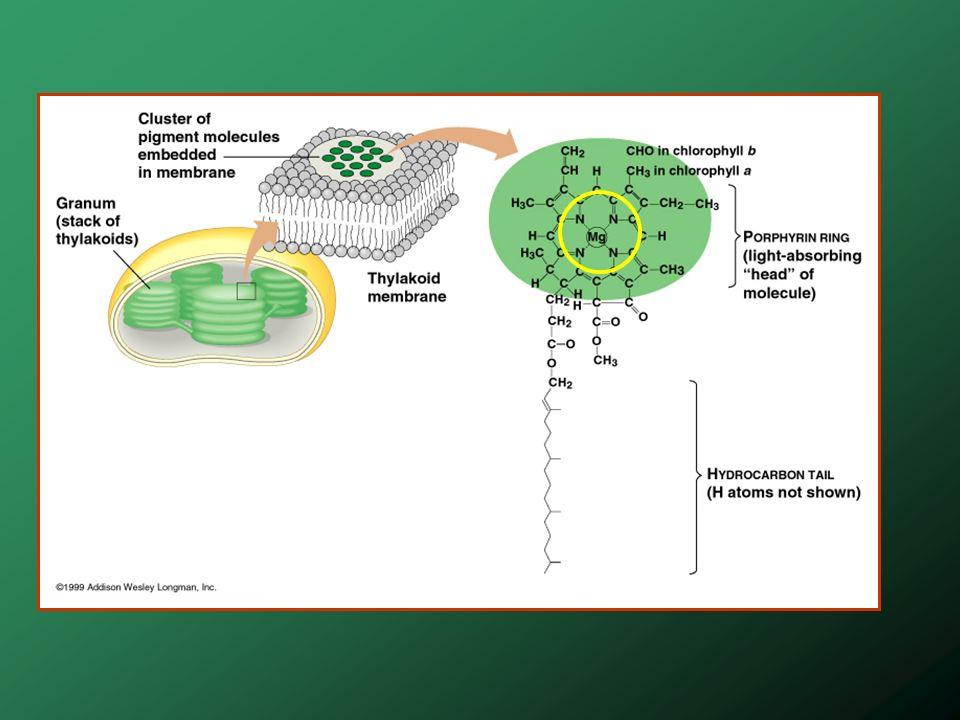 Coupes de feuilles C 3 et C 4 Plantes au métabolisme C 4 Ex.Canne à sucre et maïs Gaine fasciculaire = gaine de cellules entourant les nervures de la feuille Notez la disposition des cellules de parenchyme (mésophylle) dans la feuille en C3 et celle en C4 Notez aussi que les cellules de la gaine fasciculaire des plantes en C4 ont des chloroplastes