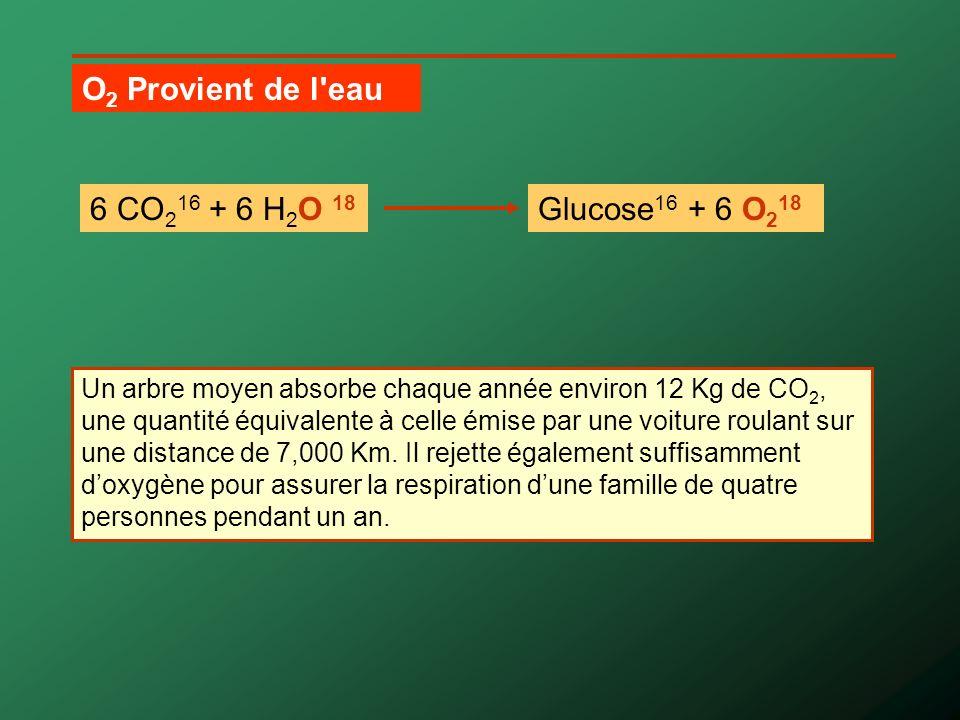 1.Le CO 2 pénètre dans la feuille par les stomates.