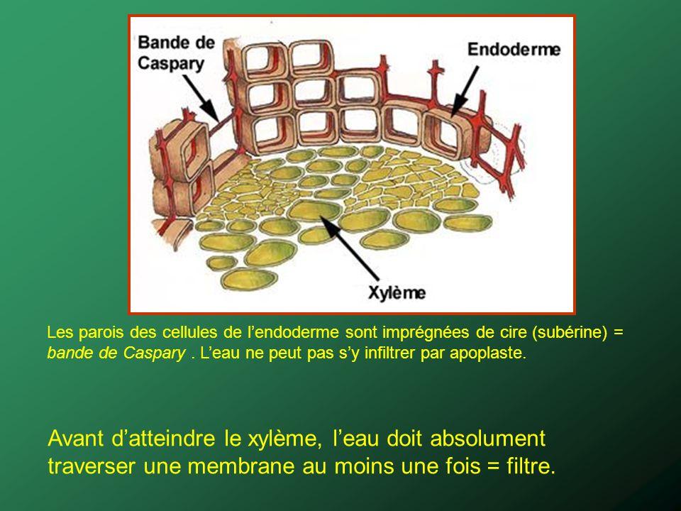 Avant datteindre le xylème, leau doit absolument traverser une membrane au moins une fois = filtre. Les parois des cellules de lendoderme sont imprégn