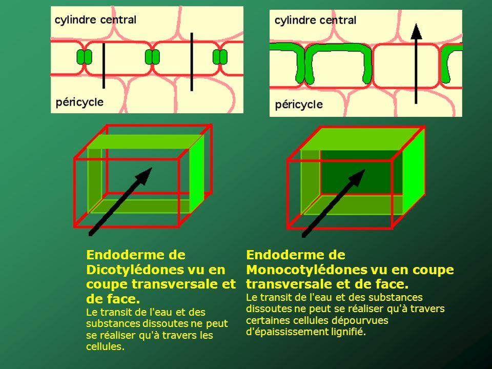 Endoderme de Dicotylédones vu en coupe transversale et de face. Le transit de l'eau et des substances dissoutes ne peut se réaliser qu'à travers les c