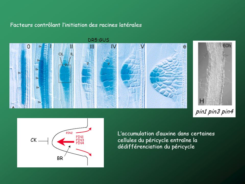 Facteurs contrôlant linitiation des racines latérales DR5:GUS Laccumulation dauxine dans certaines cellules du péricycle entraîne la dédifférenciation