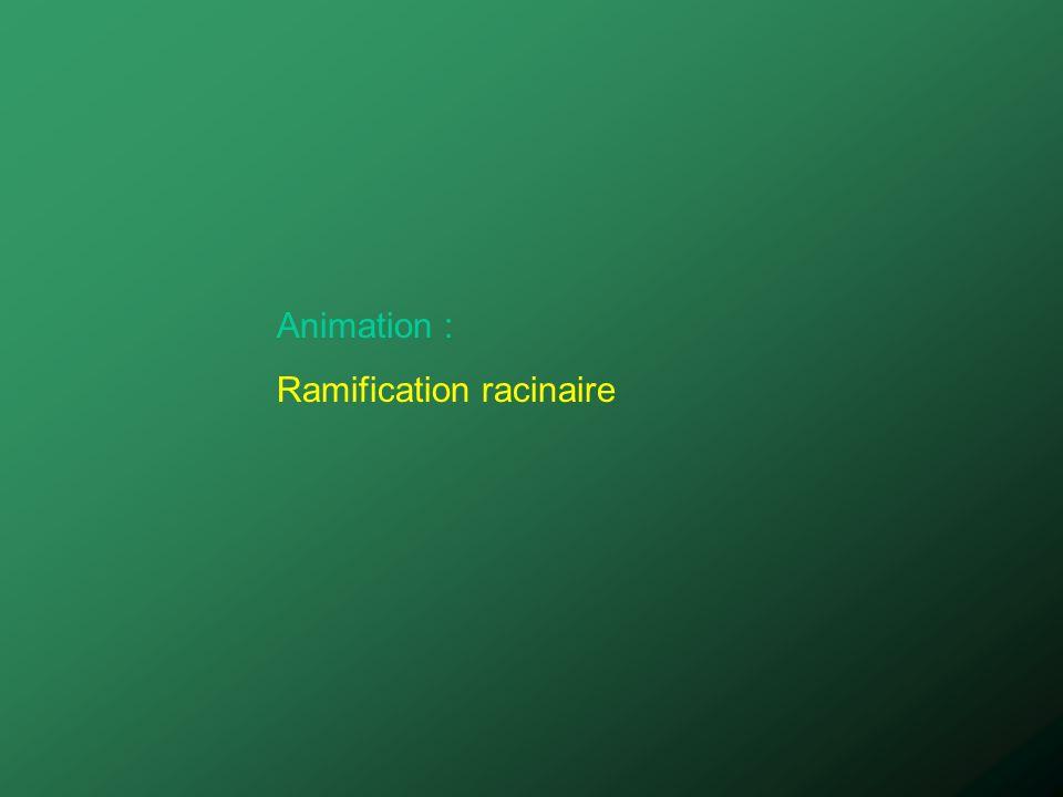Animation : Ramification racinaire